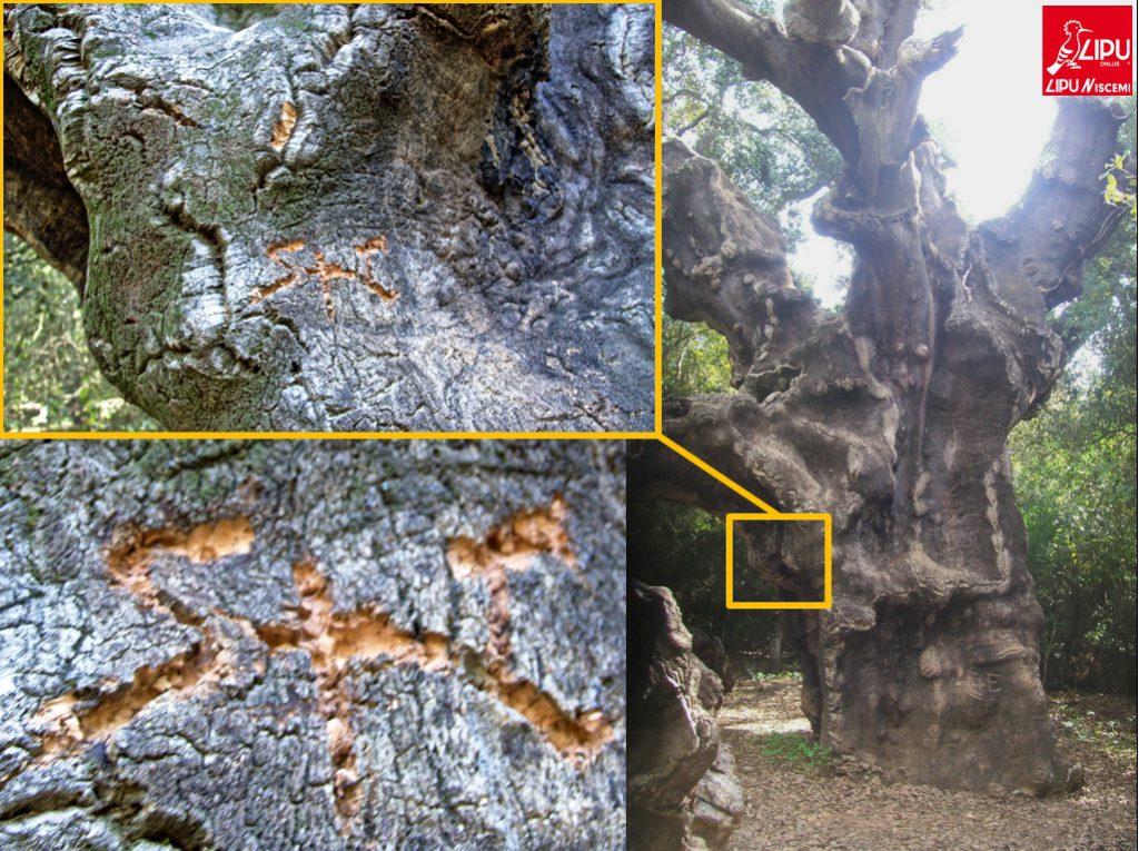 quercia-mosaica-sfregiata